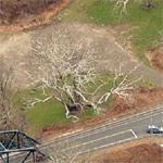 Pinchot Sycamore - Largest Tree in CT (Birds Eye)