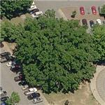 Clemson Centennial Oak - Largest Bur Oak in South Carolina (Birds Eye)